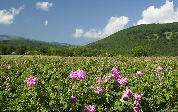 bulgarian rosees